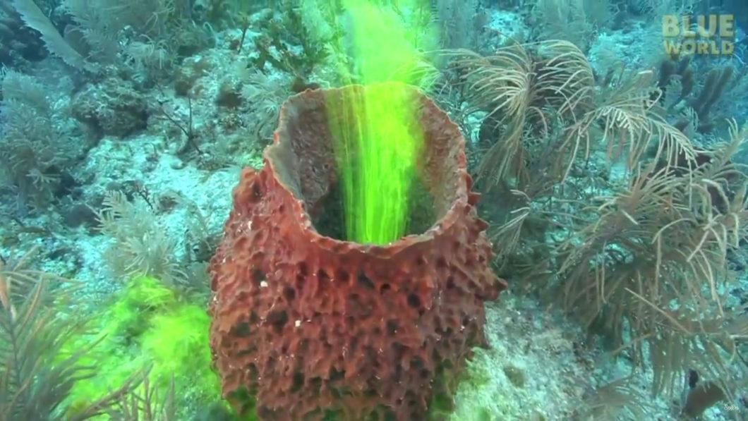 Eponge de mer et fluorescéine