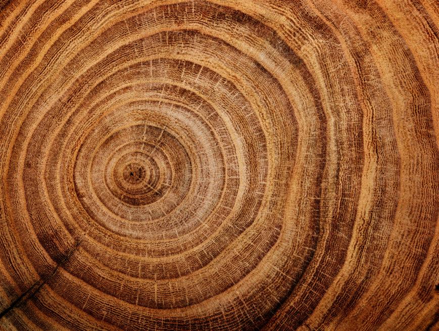 Le plus vieil arbre de la planète