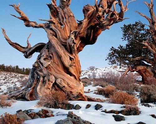 Le plus vieil arbre du monde : le pin de Bristlecone Mathusalem aux États-Unis